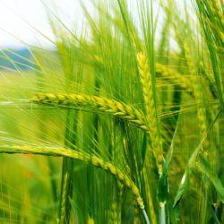 Семена за полски култури