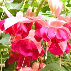 фуксия garden news