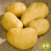 картофи джили/посадъчен материал